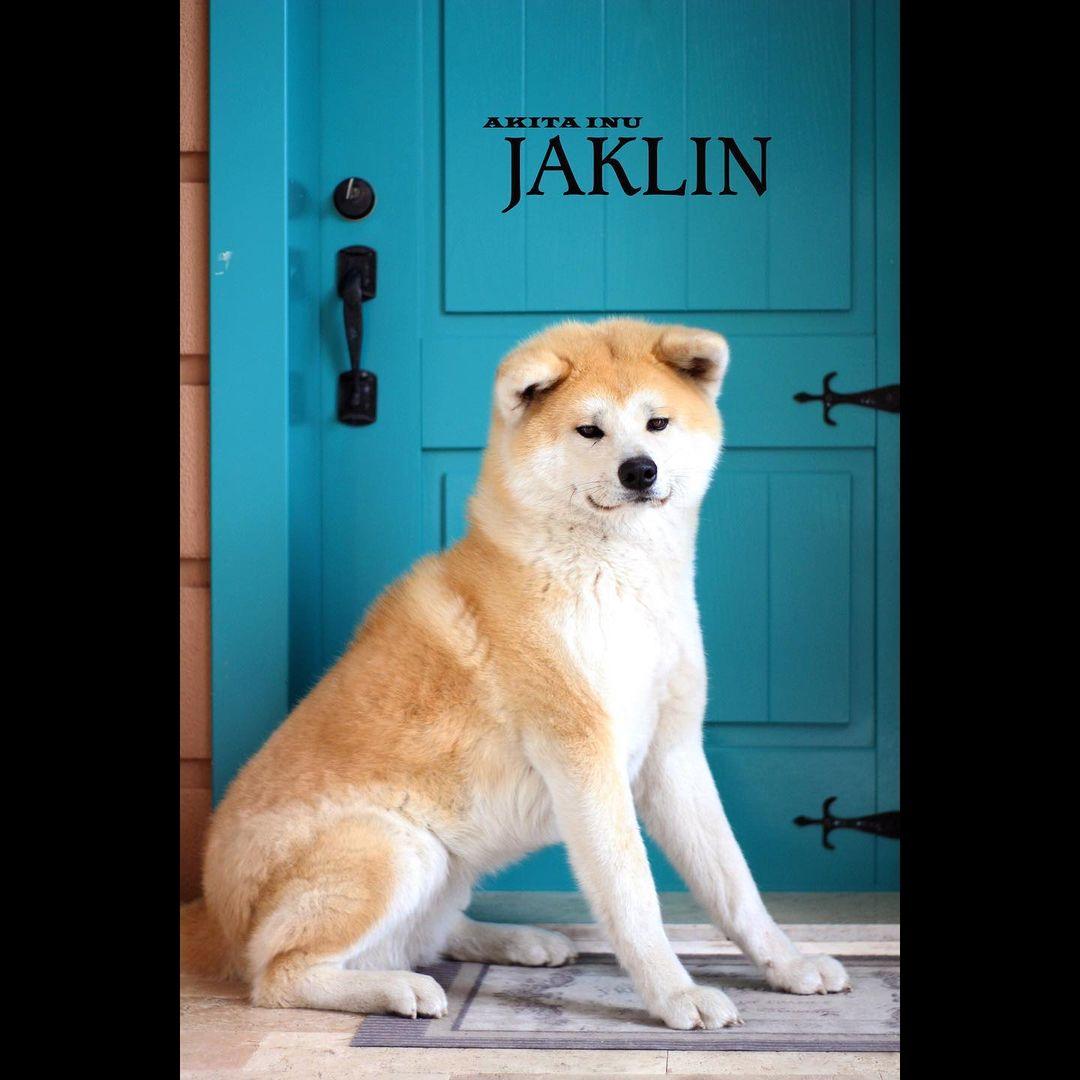Các dấu hiệu nguy hiểm của Akita phải gọi bác sĩ thú y ngay lập tức