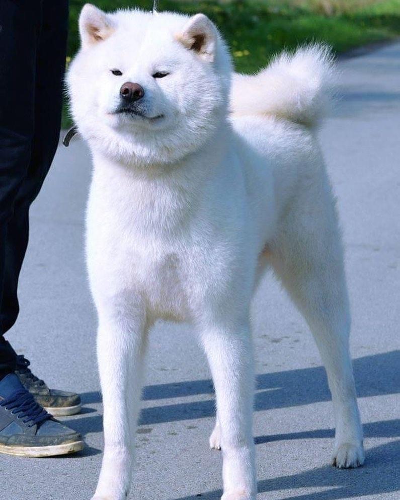 Lưu ý trong thời gian chăm sóc chó Akita sinh sản