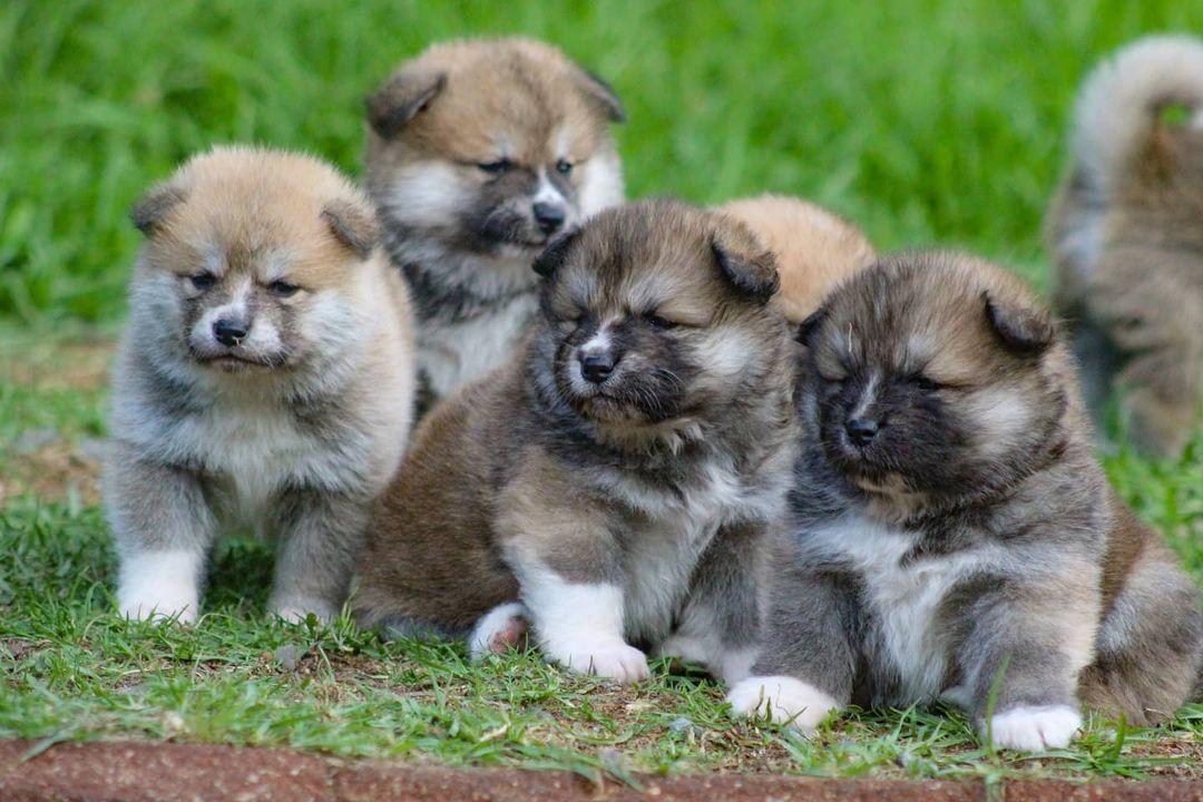 Những bệnh chó Akita Inu hay gặp phải