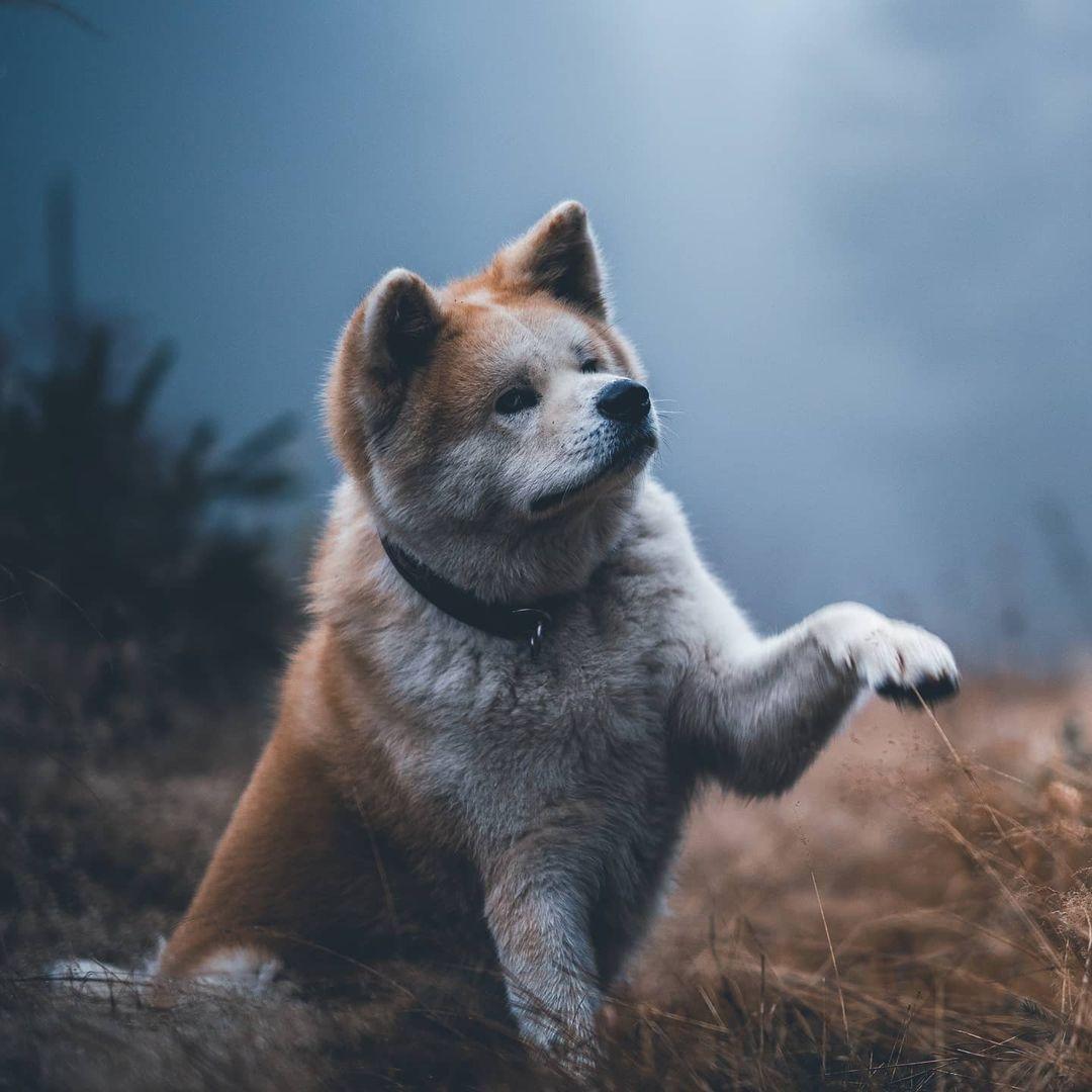 Vệ sinh răng miệng cho chó akita inu