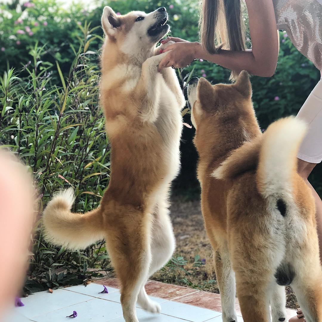 Đỡ đẻ cho chó Akita