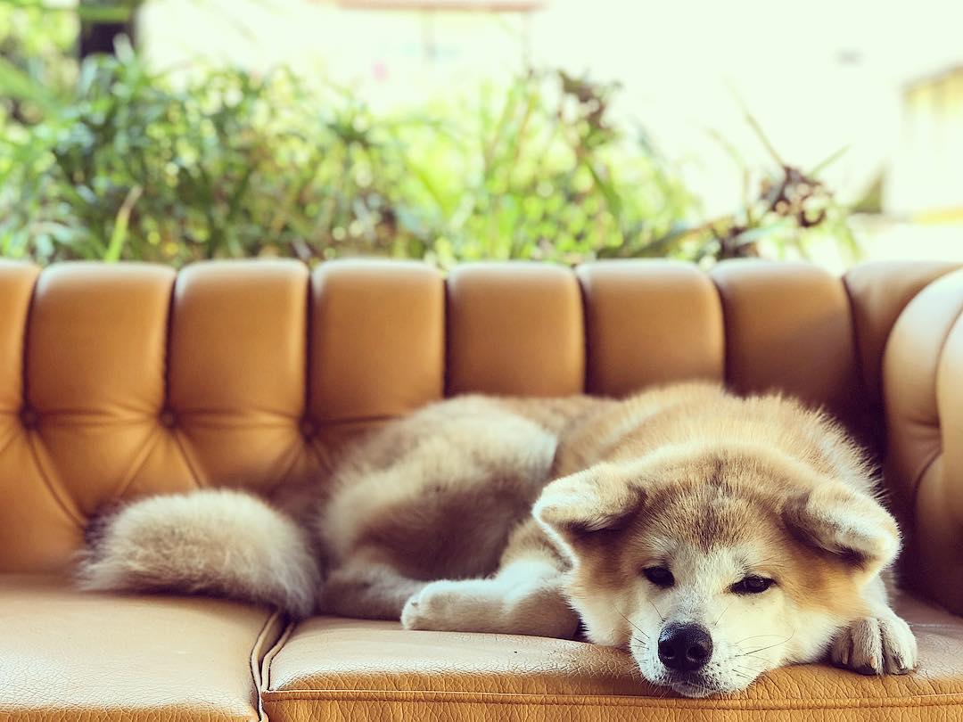 Chó Akita sau sinh