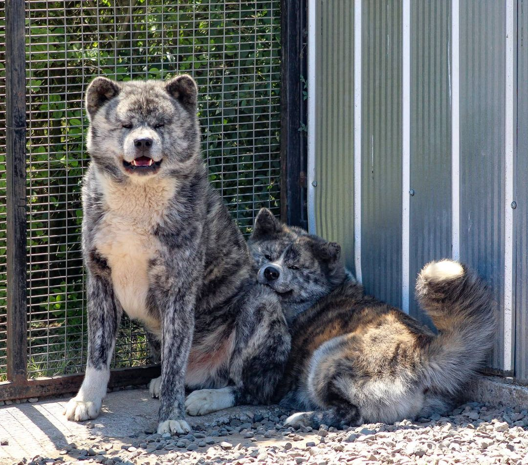 Dấu hiệu chó Akita sắp sinh