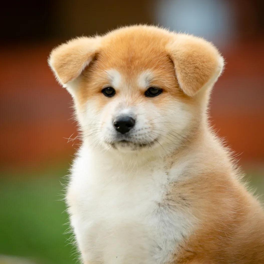 Tìm hiểu xét khi mua chó Akita Inu