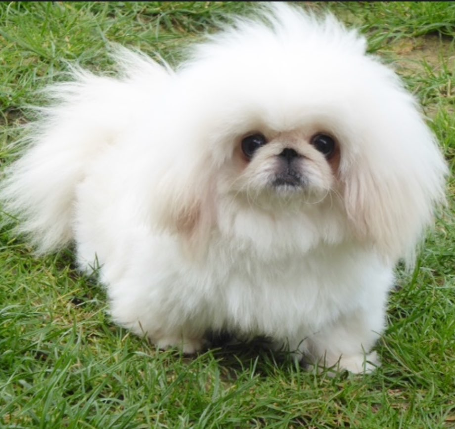 Lưu ý khi nuôi chó Bắc Kinh