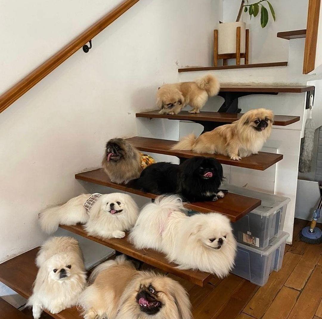 Dạy chó Bắc Kinh đi vệ sinh