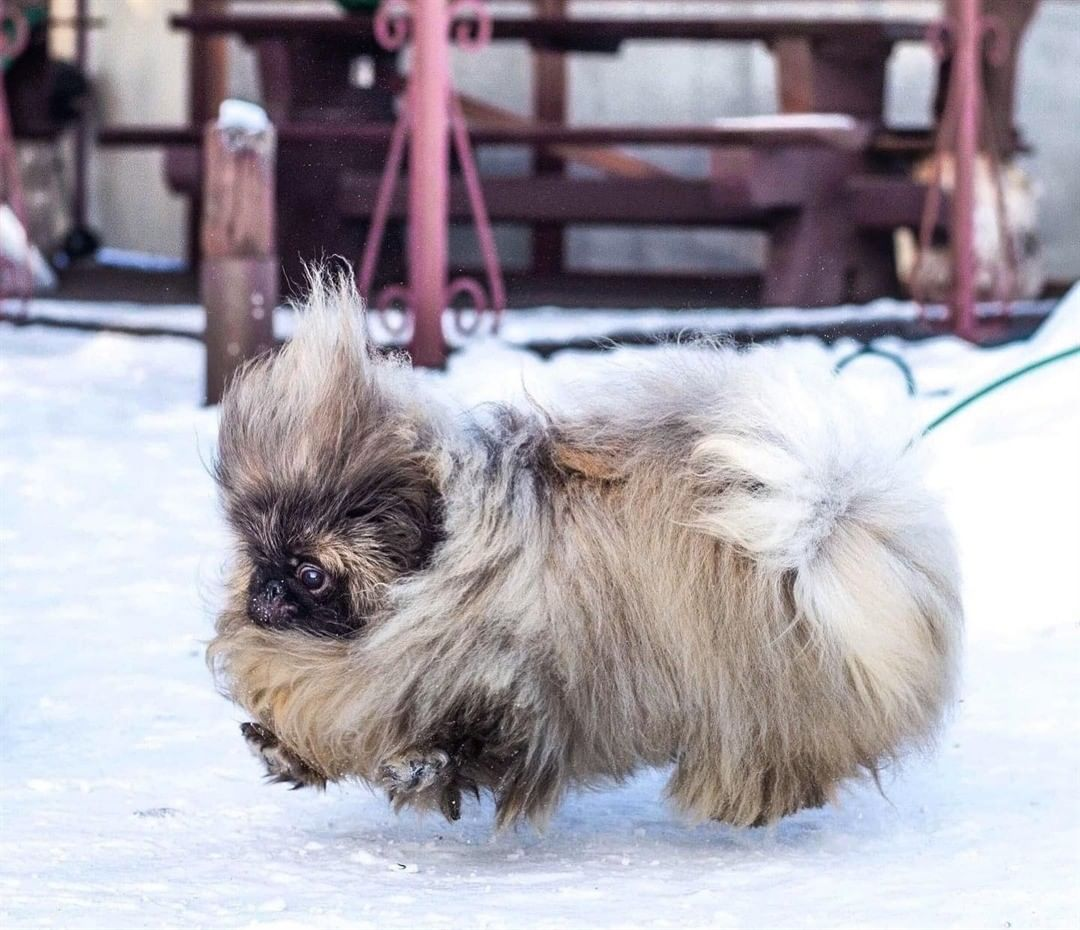Chế độ ăn và dinh dưỡng cho chó Bắc Kinh