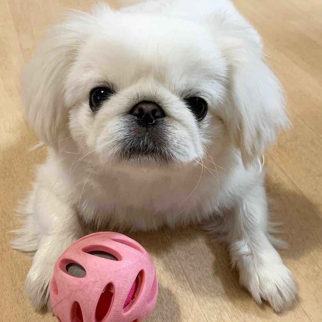 Chó Bắc Kinh sinh sản - Cách chăm sóc chó trước và sau sinh