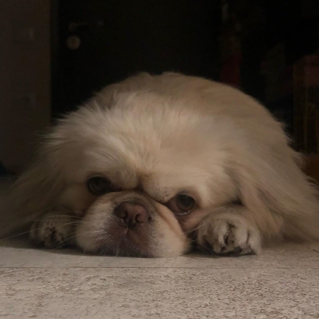 Chó Bắc Kinh – Giống chó cổ linh thiêng