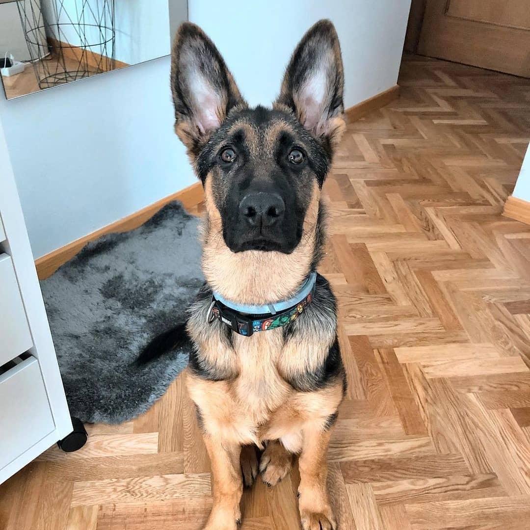 Cách nuôi chó Becgie: Sức khỏe, lưu ý, biến chứng