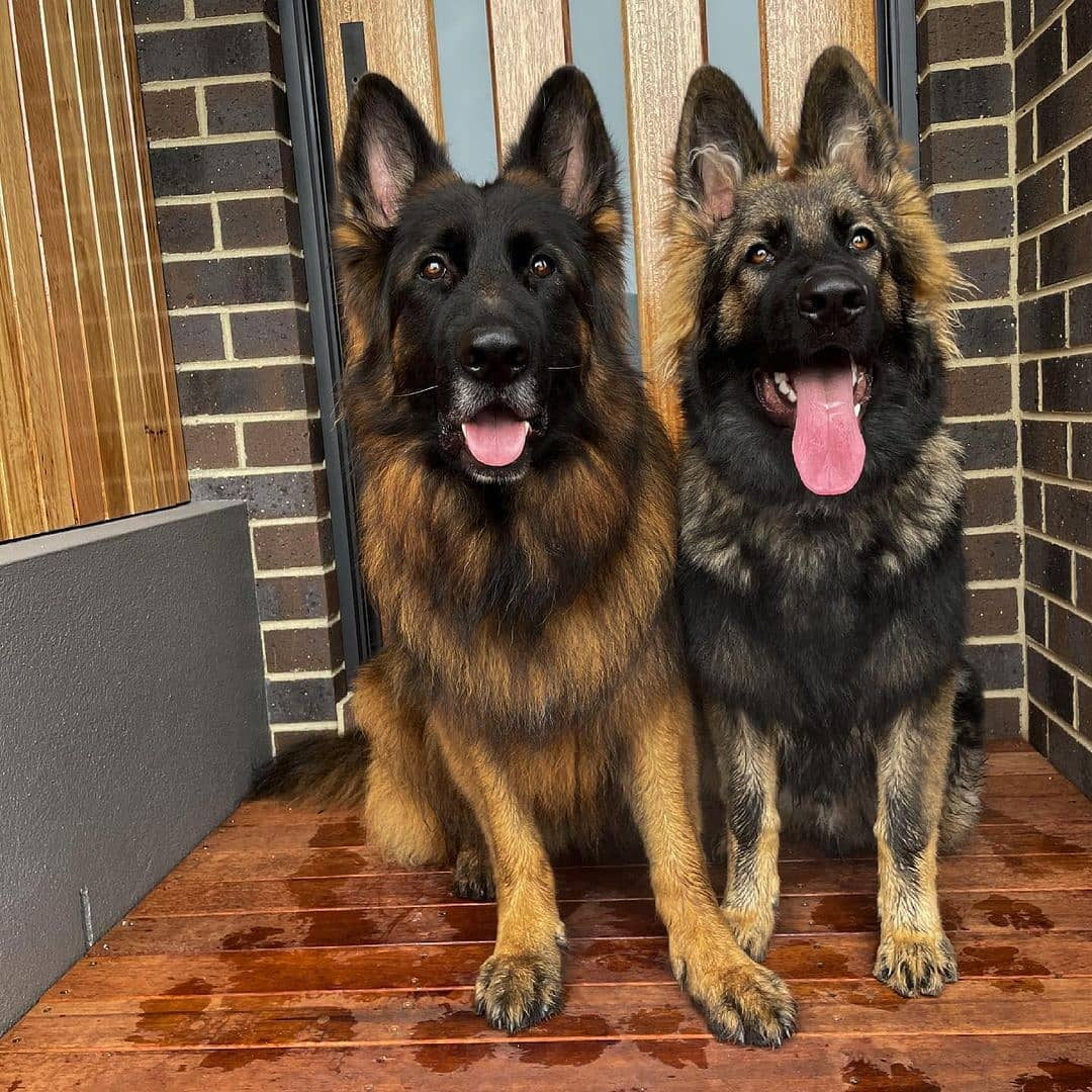 Nên nuôi chó đực hay chó cái? 3 điểm khác biệt giữa giống đực và giống cái