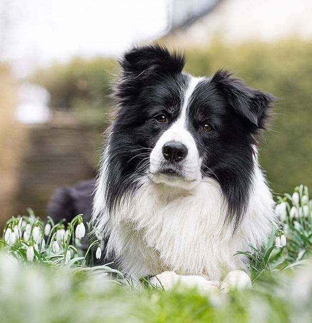 anh cho border collie117