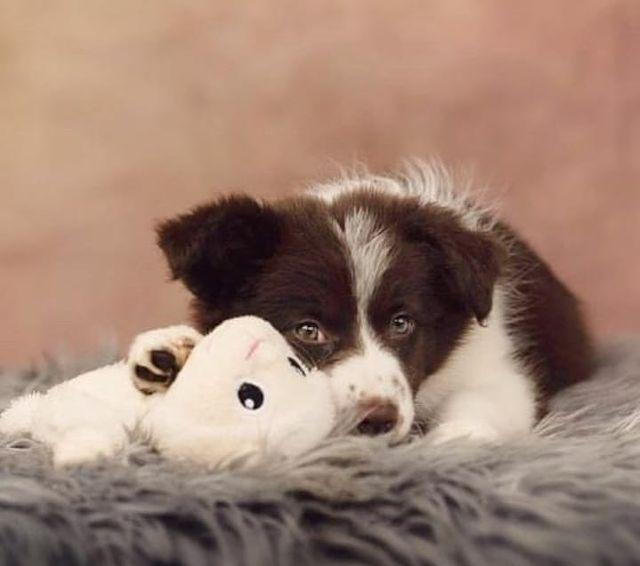 Chó Border Collie chuyển dạ và sinh con