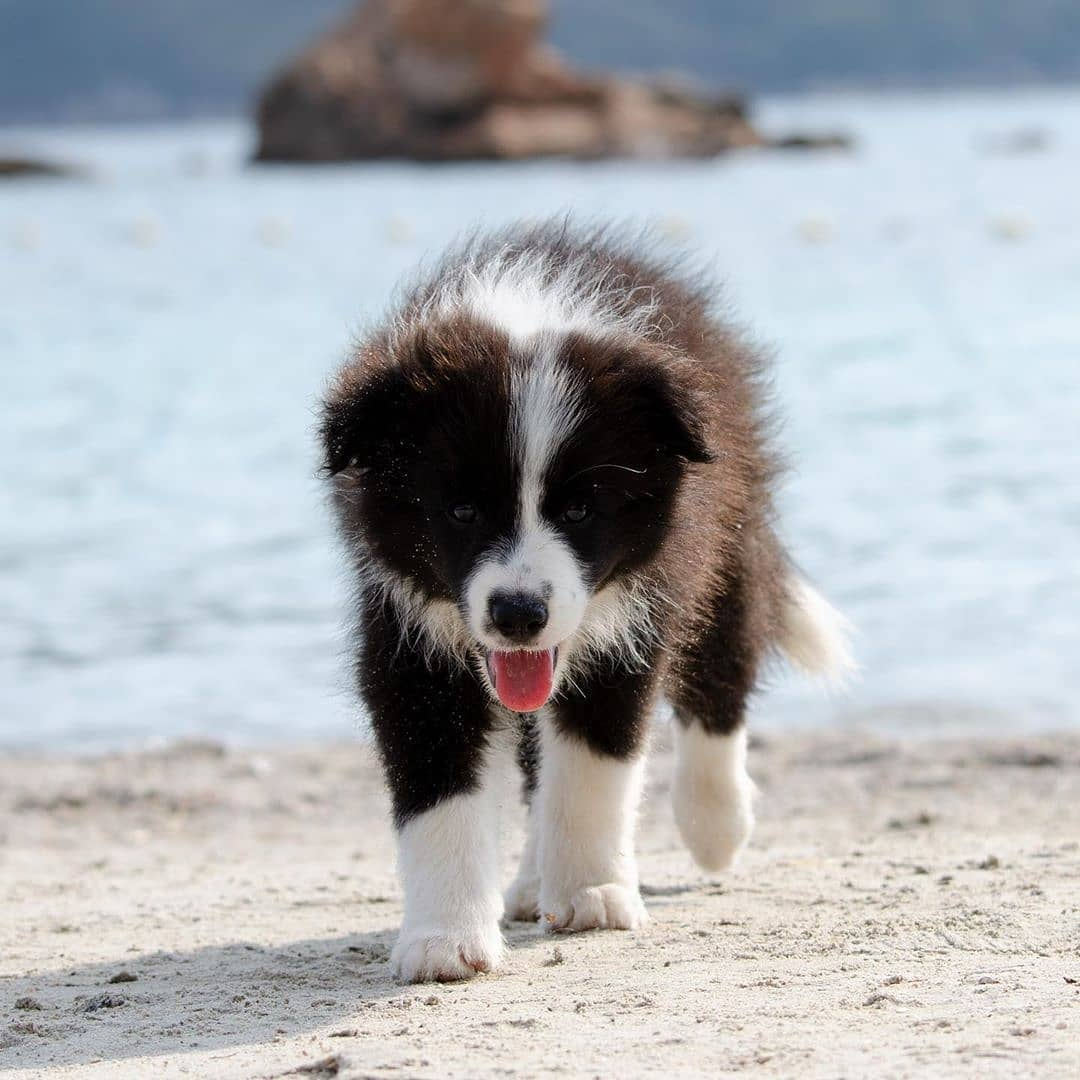 anh cho border collie158
