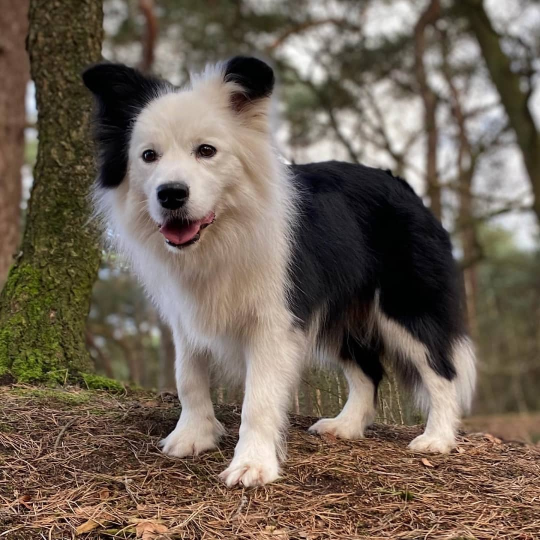 anh cho border collie162
