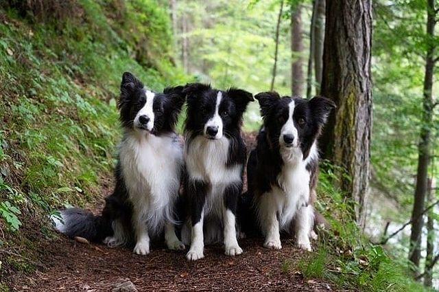 Chó Border Collie màu đen trắng cực đẹp