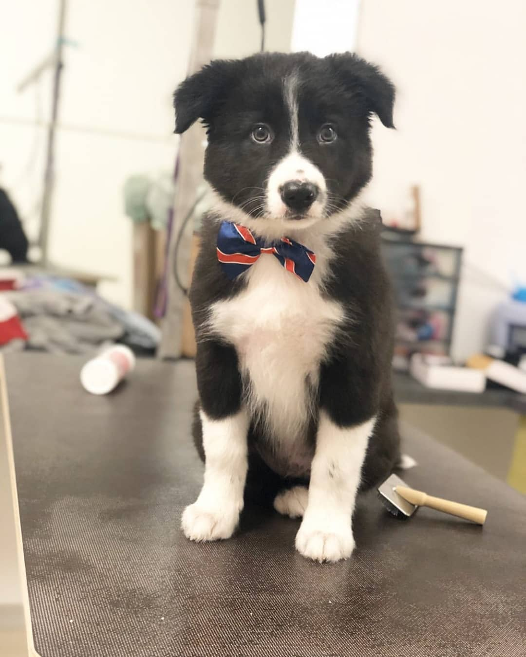 anh cho border collie172