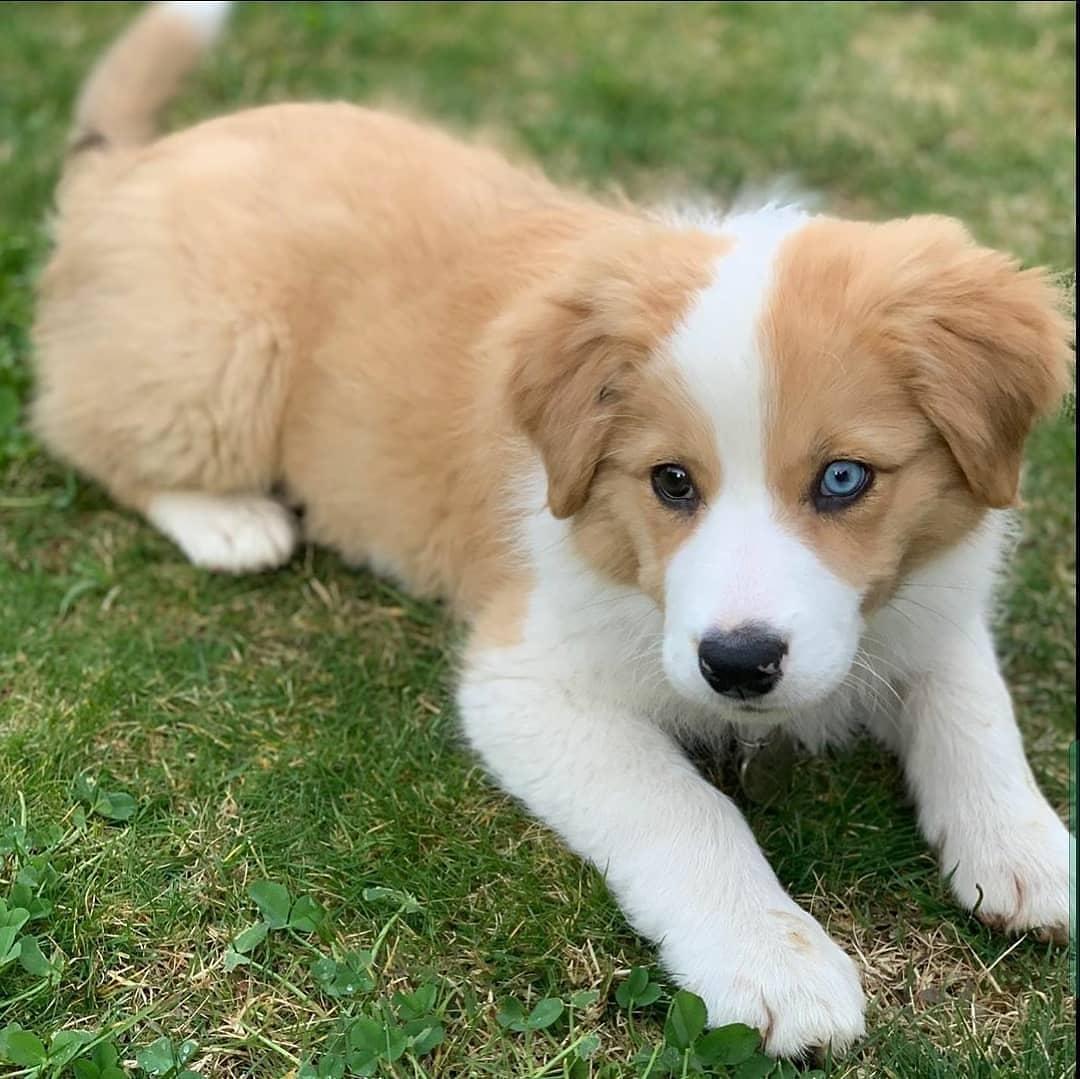 Chó Border Collie sinh sản ra chó con màu rất đẹp