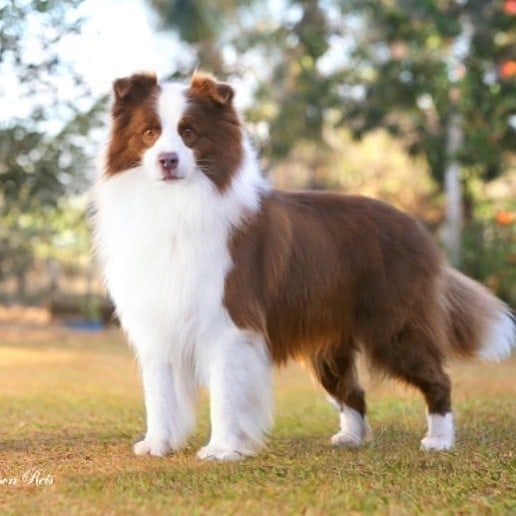 anh cho border collie196