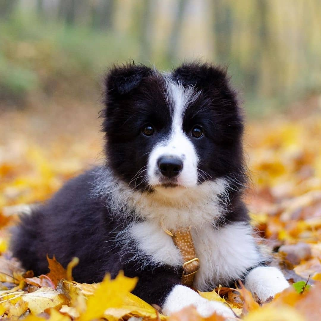 Chó Border Collie sinh sản ra những chú chó vô cùng đáng yêu