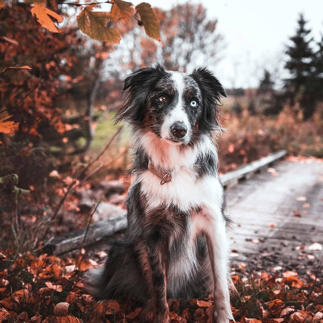 anh cho border collie246