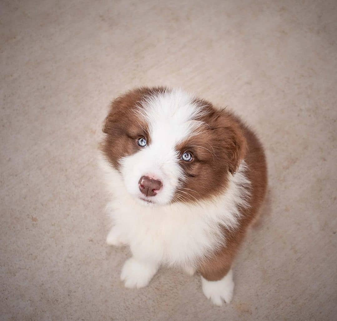 anh cho border collie256