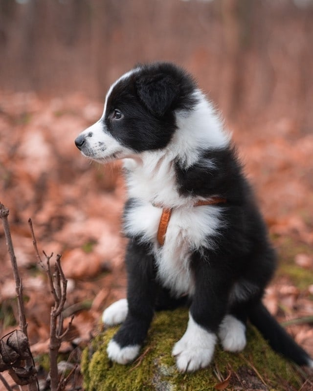 anh cho border collie261