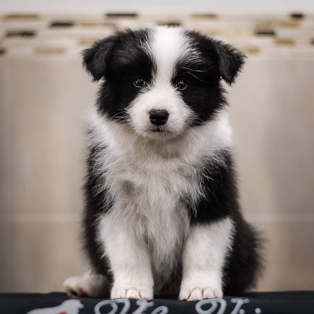 anh cho border collie270