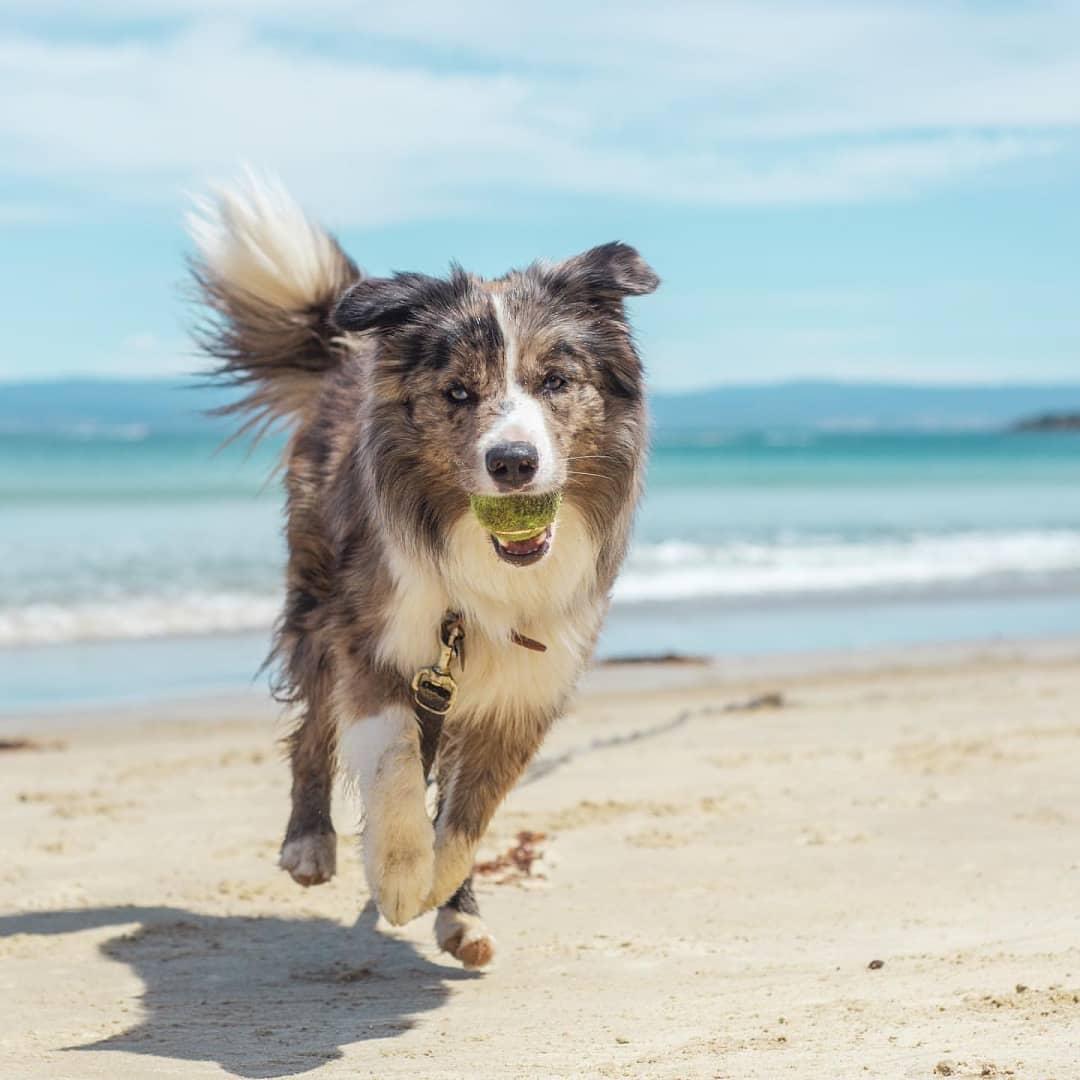 Giá chó Border Collie- Giống chó có chỉ số thông minh nhất thế giới - Thú  cảnh