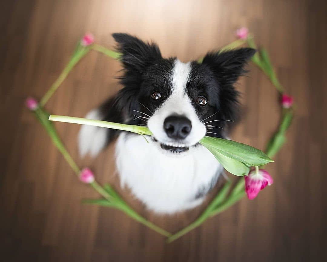 anh cho border collie291