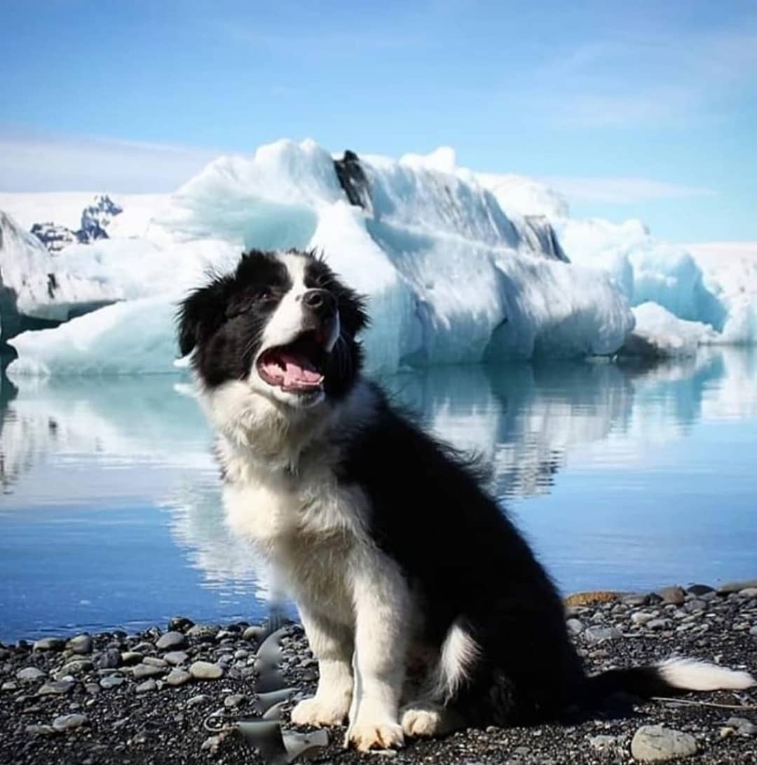 anh cho border collie294