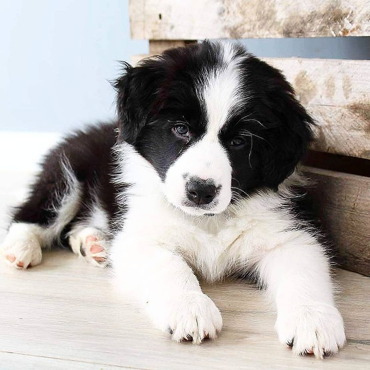 anh cho border collie296
