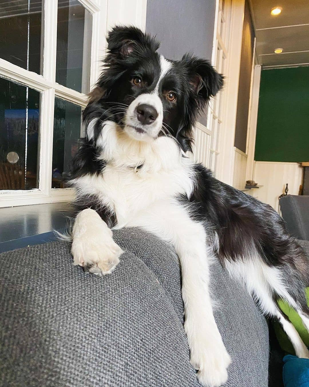 anh cho border collie298