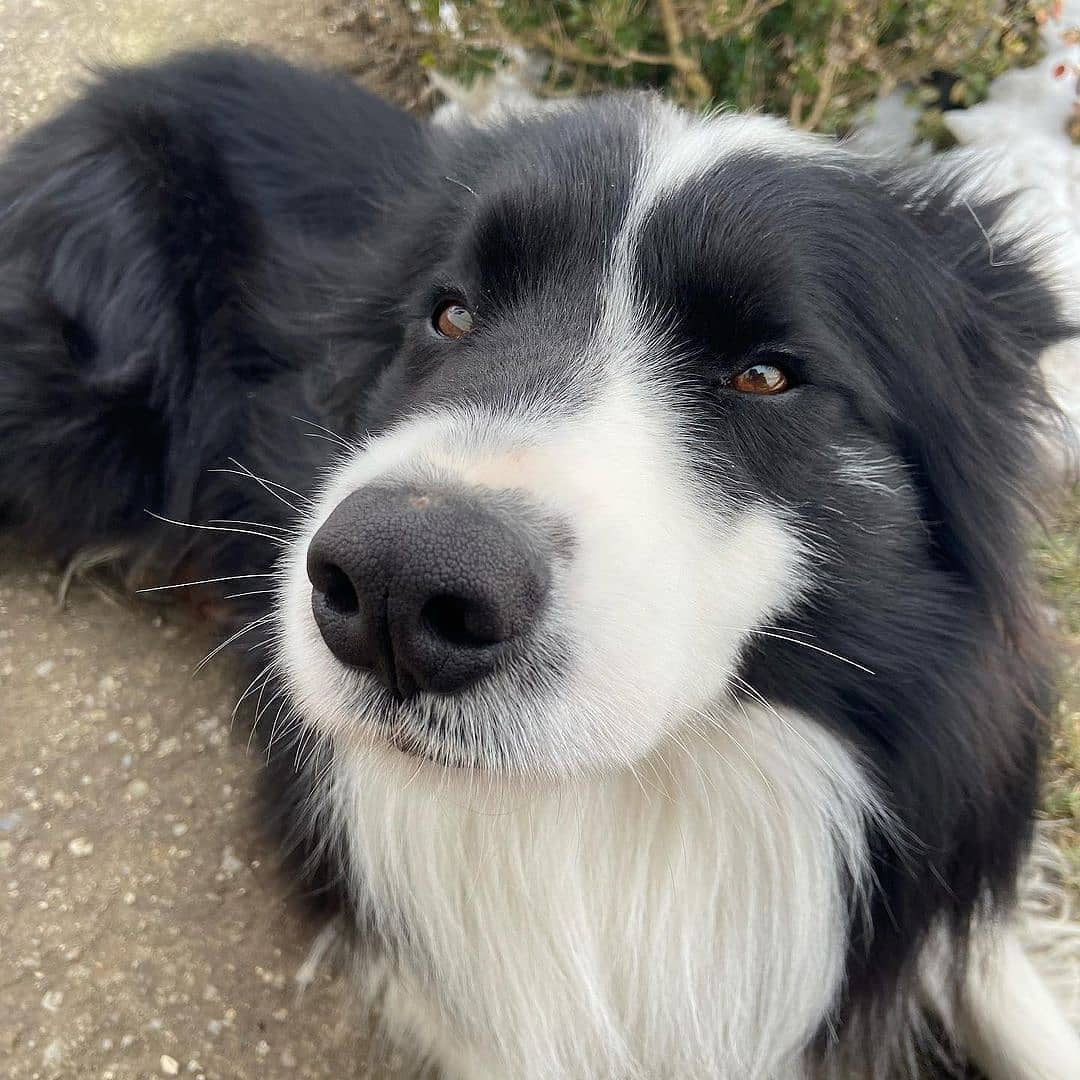 anh cho border collie299
