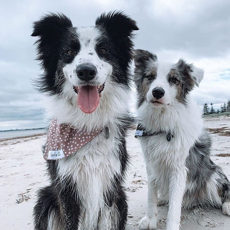 anh cho border collie318
