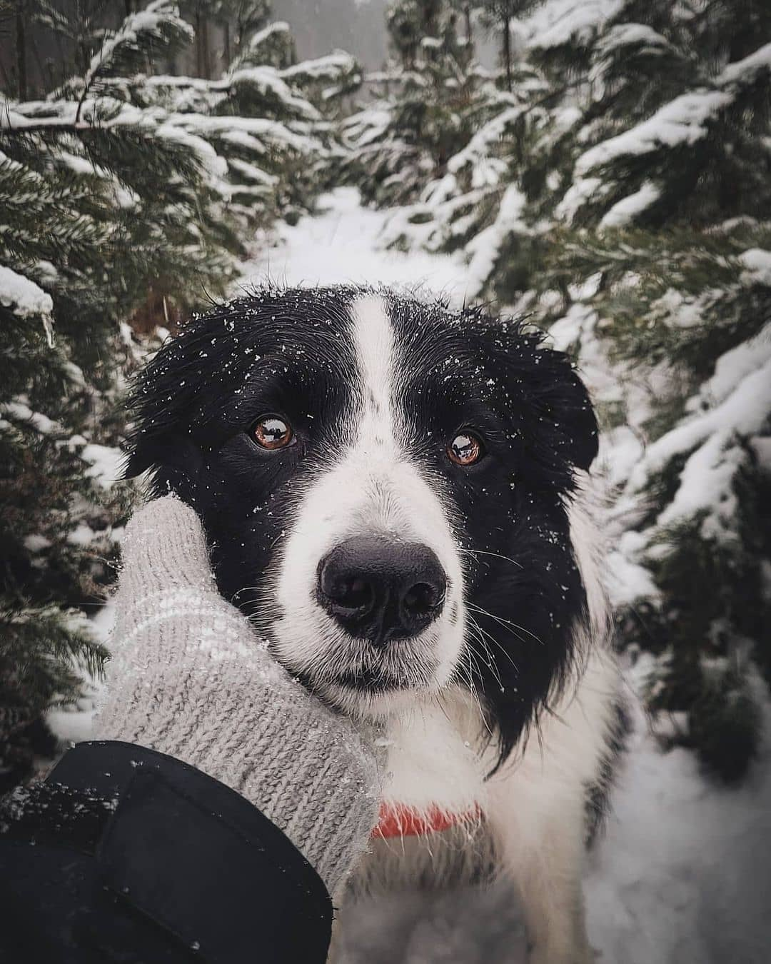 anh cho border collie330