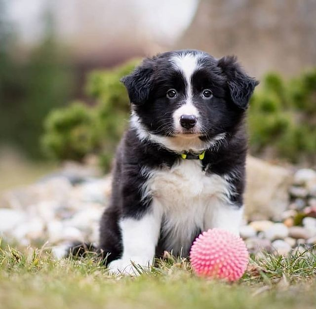 anh cho border collie332