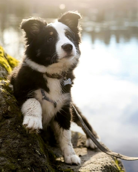 Chó Border Collie con đáng yêu