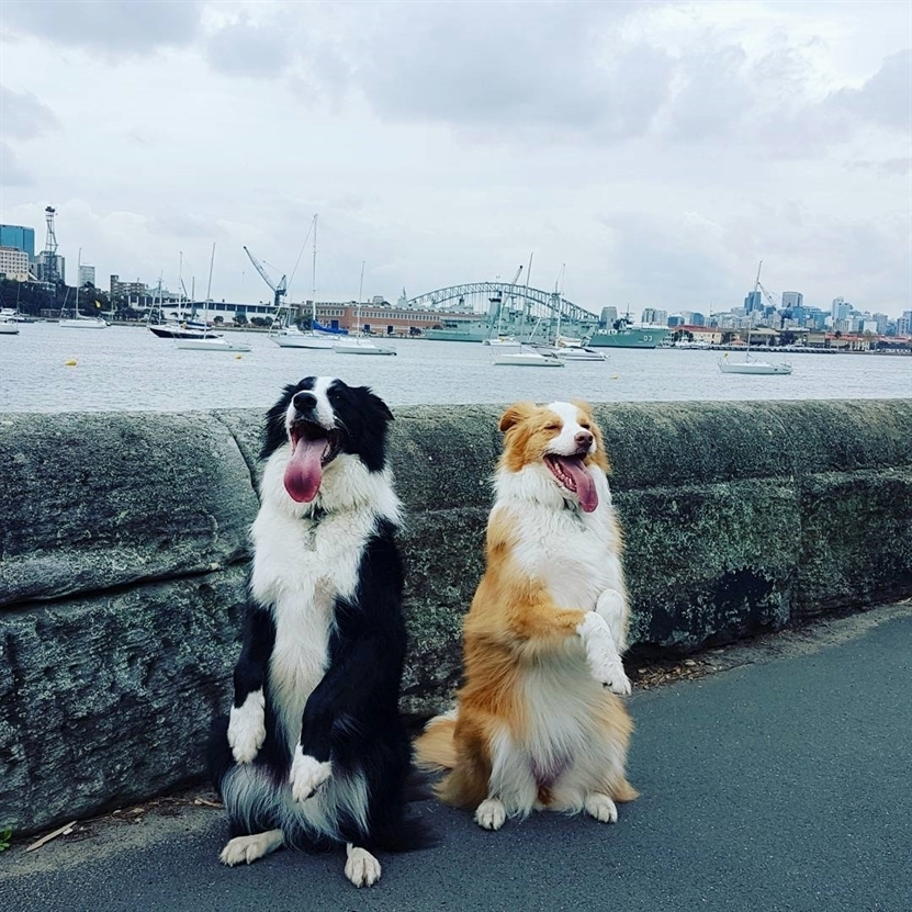 anh cho border collie45