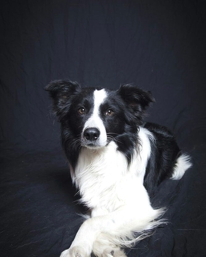 anh cho border collie6