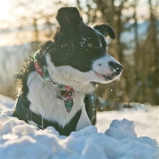 anh cho border collie90