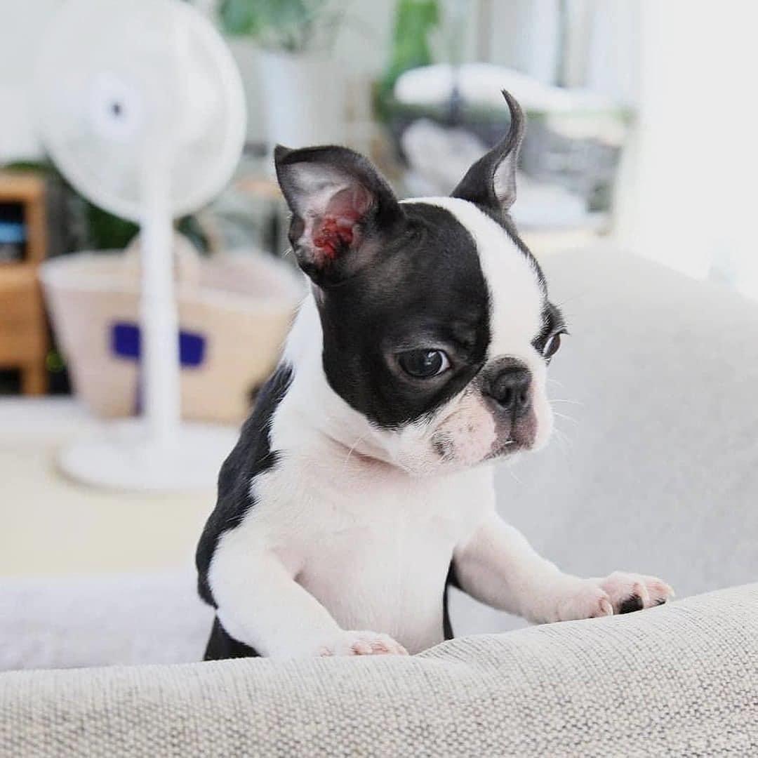 Dinh dưỡng cho chó Boston Terrier