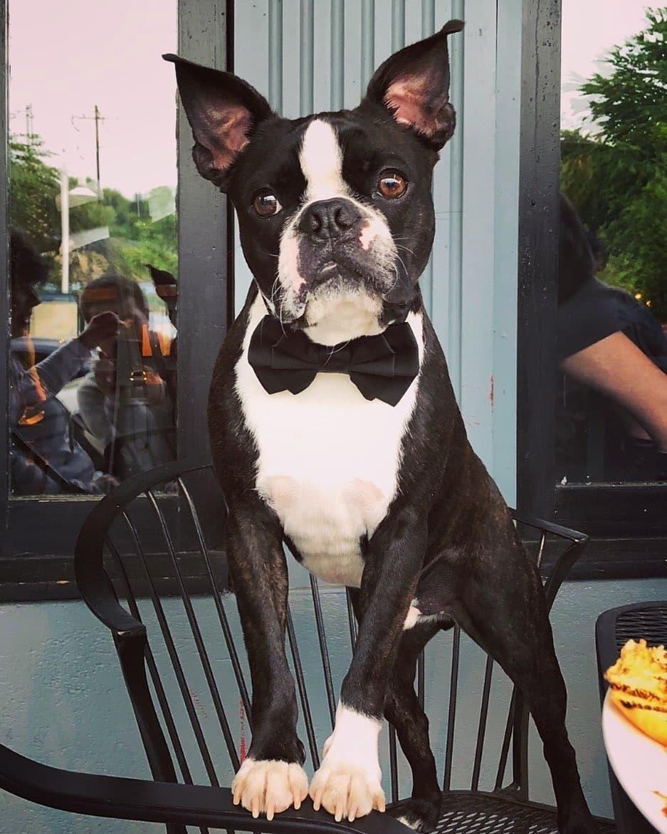 Giá chó Boston Terrier tại Việt Nam