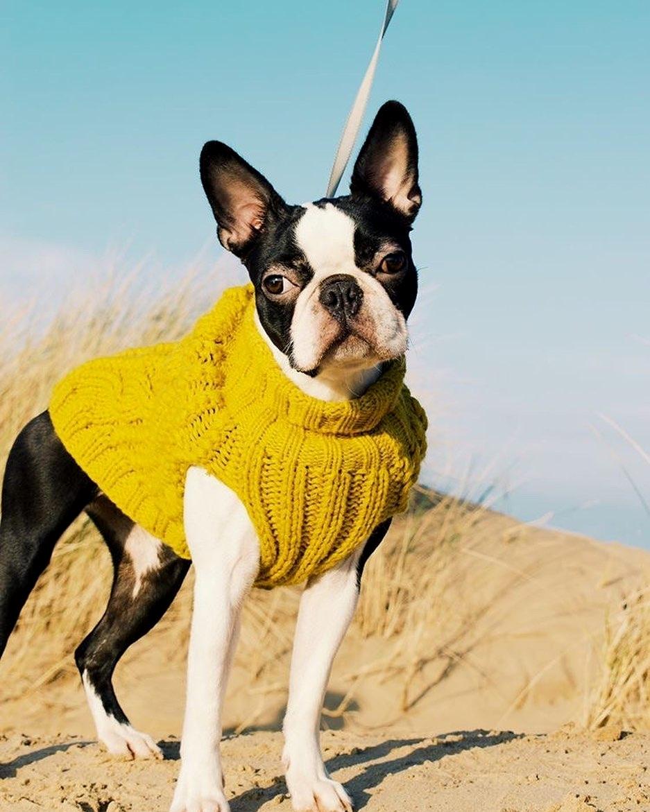 Chó Boston Terrier sinh sản khi được mấy tháng?