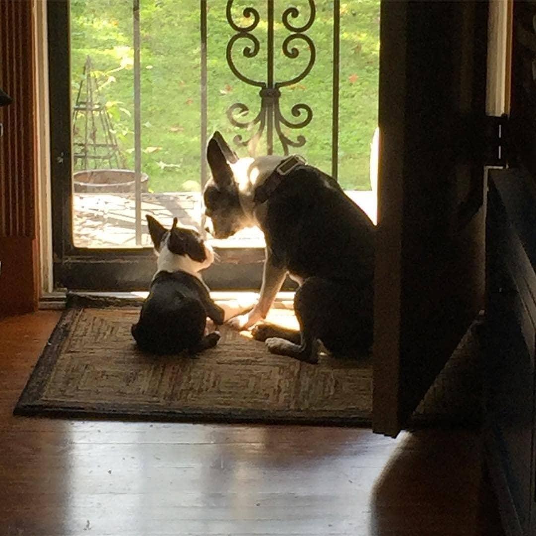 Các loại thuốc có thể gây nguy cơ ngộ độc thận cho Boston Terrier.