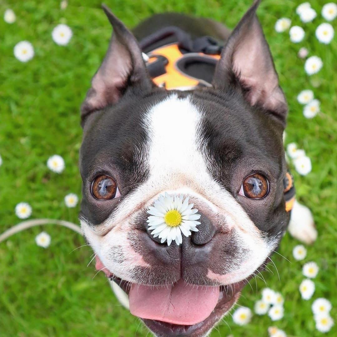 Chăm sóc chó Boston Terrier