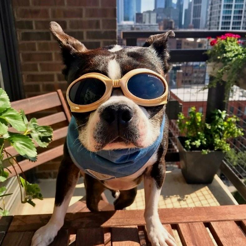 Môi trường sống của chó Boston Terrier