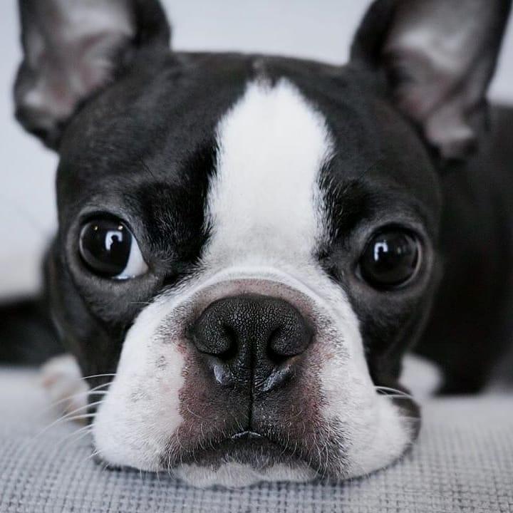 Chăm sóc chó Boston Terrier mẹ khi mang thai