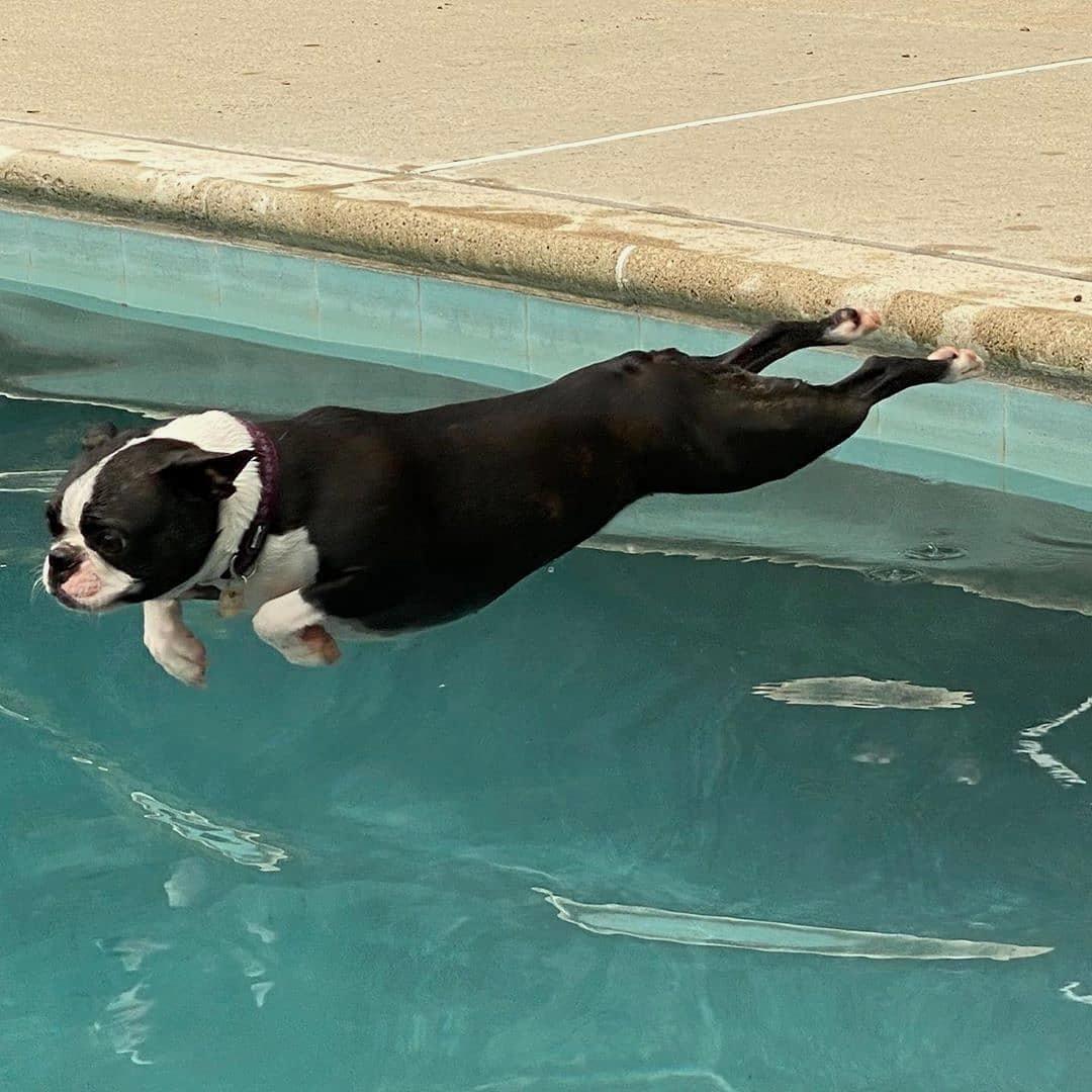 Có phải hỗ trợ chó Boston Terrier mẹ đẻ không?