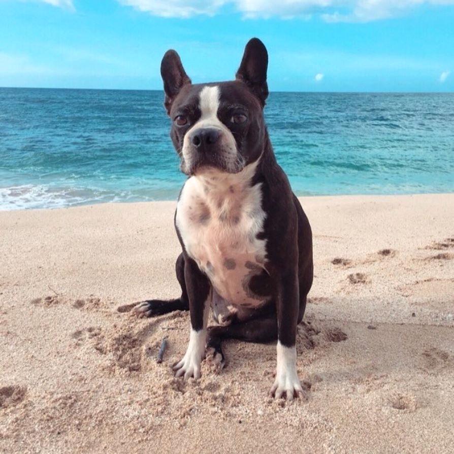 Cho chó Boston Terrier mẹ ở nơi yên tĩnh sau sinh
